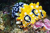 20080525東北角:是阿娟喜歡的長瘤系列海蛞蝓