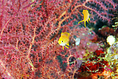 20080425Moalboal - 20080502:美麗的海扇與2隻黃色小魚,像照鏡子