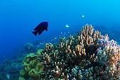 20090625國境之南最終回:魚與珊瑚,能見度真的不好,後面滿滿的珊瑚都拍不出來