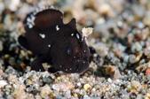 20180403_Amed_Bali 巴里島Amed潛水 Part 2:阿星發現的一隻超迷你小黑娃,就在沙地上,沒有遮蔽物的地方