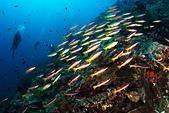 20191007_Panglao,Bohol Part 1:一種數量多,但很不合群的魚,東一撮西一群,很不團結,難拍