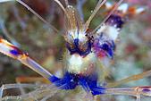 20080406-08小琉球:這張阿星驕傲的是,拍到櫻花蝦的微距