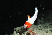 20110904東北角 North-East,Taiwan:美麗不常見的鸚哥魚幼魚