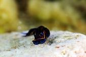 20170225-28 小琉球解潛水癮(下) Siaoliouciou,Taiwan:不在沙地上卻在石頭上的藍寶堅尼