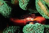 20170415-16_東北角 Northeast Coast,Taiwan:體型真不小,珊瑚散發的螢光綠好美~