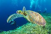 20080425Moalboal - 20080502:動感的海龜