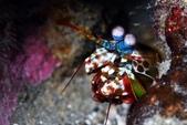 20180728-29_東北角 Northeast Coast,Taiwan (上):20180728 3rd 825- 小螳螂蝦