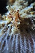 20170708-0709_東北角(上) Northeast Coast,Taiwan:麻子臉Takako(Troponia palmula)極迷你,水中看不出是啥,很正常,哈哈