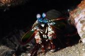 20171004-1011_Anilao Part VI:Mantis shrimp