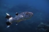 20210404-0406_墾丁 Kenting,Taiwan:20210406 山海祖先潛點-可愛的梭魚小朋友