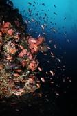 20171004-1011_Anilao Part V:豐富的珊瑚礁一景