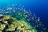 20080425Moalboal - 20080502:魚群非常多,但能見度大約都只有15~17米