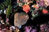 20171004-1011_Anilao Part V:好可愛的大鰻,在魚眼鏡頭下變成小可愛了,如果頭上的星珊瑚開花,就可以來張鰻比花嬌:P