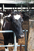 20090209鹽水蜂炮+新營+柳營:有可愛瀏海的乳牛