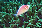 20080406-08小琉球:粉紅小丑與綠海葵