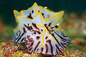 """9607-東北角:這種海蛞蝓通常都很大""""'顆"""""""