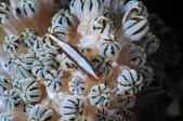 20171004-1011_Anilao Part III:這隻蝦手上的雕花也太美太精緻了吧~~