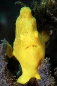 20180403_Amed_Bali 巴里島Amed潛水 Part 2:正面有點好笑,竟然這麼扁!要吃胖一點了,哈~