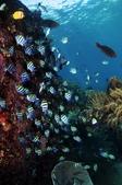 20180405_Amed_Bali 巴里島Amed潛水 Part 4:豆娘魚群拍起來也好看