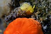 20190622-23_東北角(上) Northeast Coast,Taiwan:戴黃色鋼盔的星珊瑚螺,Q~~
