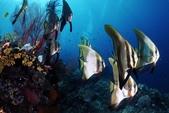 20180405_Amed_Bali 巴里島Amed潛水 Part 4:可愛優雅的燕魚群,我可以盯著牠們看好久~~