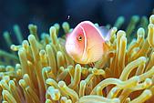 20080406-08小琉球:粉紅小丑與黃海葵