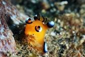 20170715-0716_東北角(上) Northeast Coast,Taiwan:被冷流逼到淺礁處,看到超圓超可愛的正皮,超開心~加上魚群,這支很滿足了~