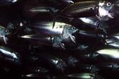 "20171004-1011_Anilao Part VI:Longjawed Mackerel-真是有趣的魚,這表情很""驚聲尖叫""耶~每一隻都很驚嚇的樣子,哈"