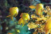 20080425Moalboal - 20080502:3隻小魚