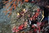 20180609-0610_東北角 Northeast Coast,Taiwan:好髒的饅頭蟹,本來好好走在石頭上,因太注意阿星不小心摔下去,呆萌XD