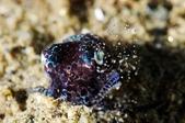 20170405 Ambon Diving 安汶潛水趣:正在挖沙把自己埋起來, Bobtail squid 的招牌動作