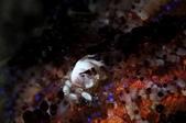 20171004-1011_Anilao Part III:火焰海膽上的秀氣小白螺