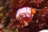 20080629東北角:格子海蛞蝓在生蛋