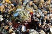960617-960619Anilao:小小石頭魚