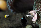 20170406-07 Ambon Diving 安汶潛水趣( The End):瓷蟹打出一個小丑魚的龜派氣功 (因為是小小baby,所以特別圓,可愛,後面還有隱藏版觀眾,哈哈XD)