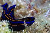 20080406-08小琉球:側面像海豚的海蛞蝓