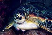 20080425Moalboal - 20080502:很大隻的海龜,一直在猶豫要不要閃