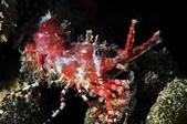 20170610-0611_低能見度的東北角(下) Northeast Coast,Taiwan:Marble shrimp