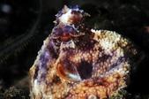 20170610-0611_低能見度的東北角(下) Northeast Coast,Taiwan:拳頭大的Coconut octopus, 好乖很溫馴,可惜東北角沒有大貝殼讓牠們變成章魚三明治樣