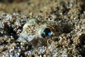 20170701-0702_東北角(上) Northeast Coast,Taiwan:這種半埋在沙地中準備伏擊的魚很可愛 (猜應該是狗母魚的一種)