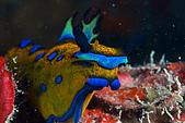 20090830東北角:王者風範,今年阿娟第一隻藍泡泡虎蛞蝓