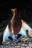 2017過年墾丁遊(下) Kenting,Taiwan:另一隻有趣的章魚,穿著蓬蓬裙的牠正在想辦法讓自己看起來很雄壯威武嗎?