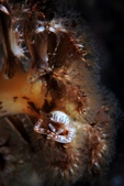 20171004-1011_Anilao Part V:20171009 Night House reef(岸)- 海筆上的小瓷蟹