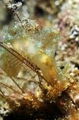 20170405 Ambon Diving 安汶潛水趣:好神奇的海蛞蝓,肉眼看是透明又BlingBling,很特別