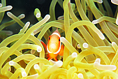 20080425Moalboal - 20080502:Nemo