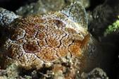 20170405 Ambon Diving 安汶潛水趣:顏色淺薄的龜甲萬