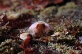 20170624-0625_東北角(上) Northeast Coast,Taiwan:這是我的小粉紅偽海龜蟹 , 連前肢都模仿的唯妙唯肖, Cool (其實才1cm的小東西啦~)