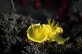20170513-0514_東北角 Northeast Coast,Taiwan:我非常喜歡的萊姆檸檬,在污泥中發光發亮,好美~