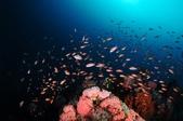 20171004-1011_Anilao Part V:充滿生命力的珊瑚礁