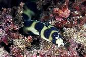 20190706-07_東北角(上) Northeast Coast,Taiwan:看到這隻小蛇鰻目中無人地探索每個洞穴找食物的樣子,真是好可愛~鰓後一對小翅膀,無邪的眼睛